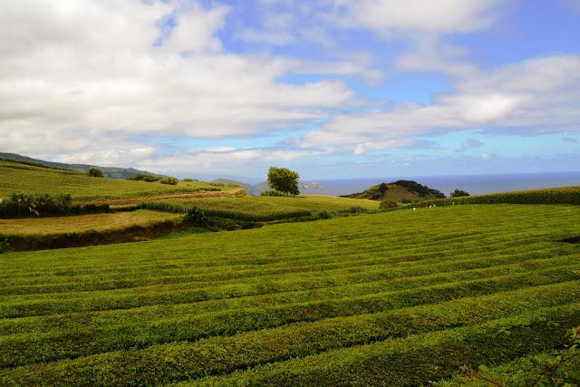 Chá Gorreana (Ribeira Grande, São Miguel, Açores)